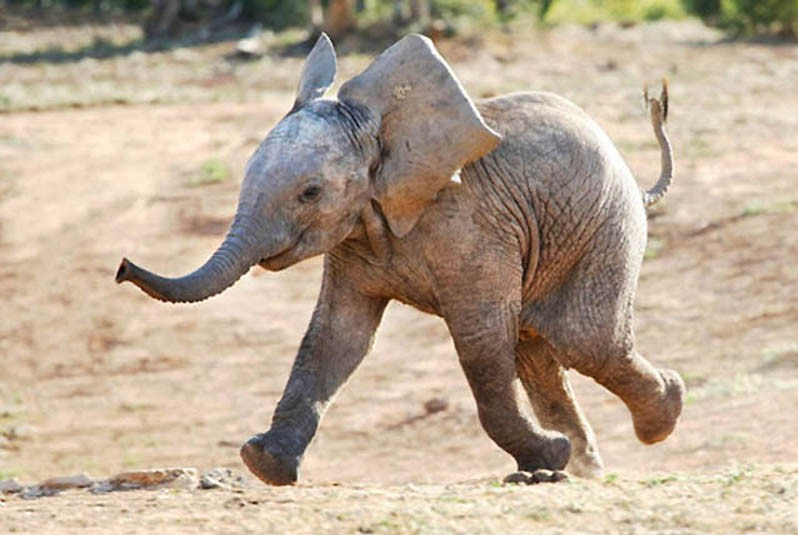 In Search of Baby Elephants