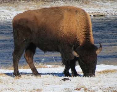 Yellowstone in Winter: Don't Ski too Close to a Sleeping Bison!